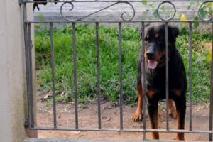Empresas de vigilância estão probididos de usar cães no trabalho  Crédito: Guerreiro / PMPA / Divulgação / CP